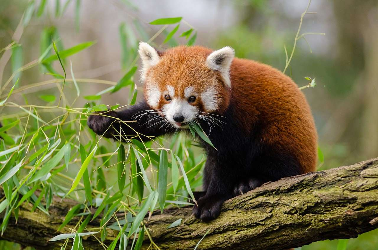Red Panda adorable animal