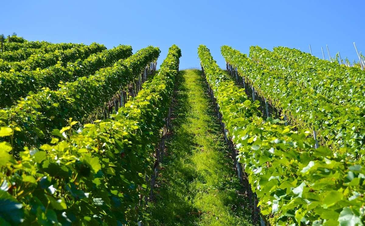 beautiful vineyard grapes