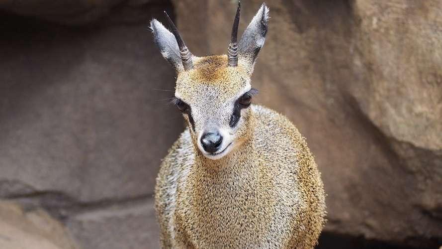klipspringe antelope