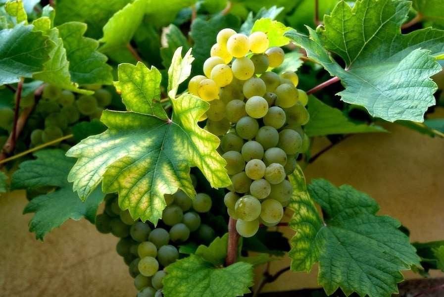 vineyard white grapes