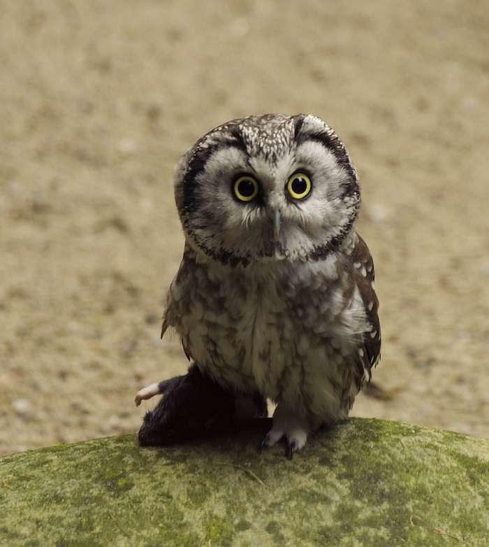 Eurasian pygmy owl Croatia