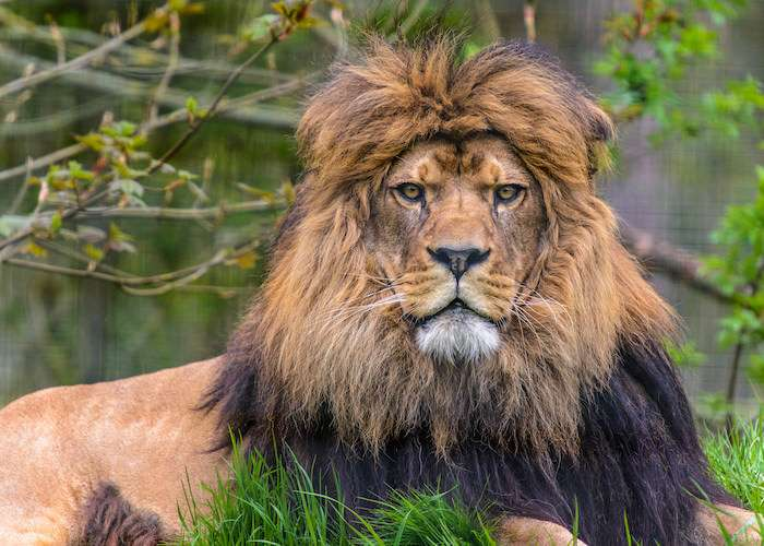 Beautiful Barbary lion