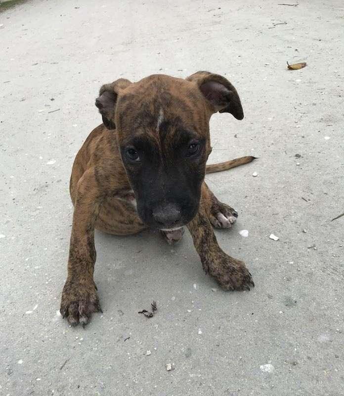 Belize adopt brown puppy
