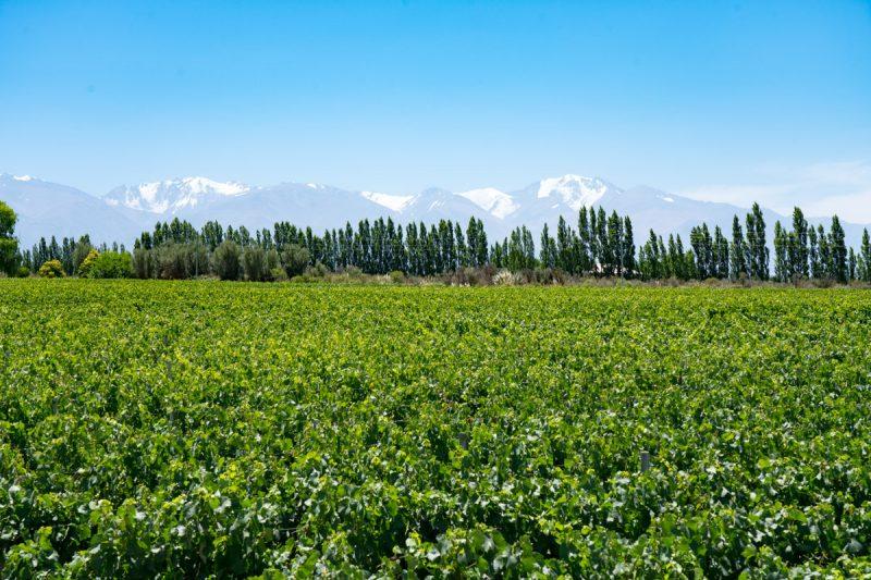 Sea of vineyard in Mendoza